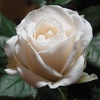 美しい純白の花びらと深い緑の葉との相性は抜群です。
