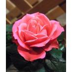 上品なピンク色が印象的。花弁数が多く、独特の形の蕾が特徴的。