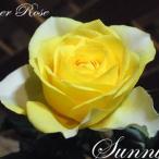鮮やかな黄色の花が特徴の品種。