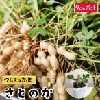てしまの苗 ラッカセイ苗 さとのか  落花生 実生苗 9cmポット