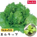【生産農場直送】玉レタス苗 エムラップ231  9cmポット 葉菜苗 【人気】