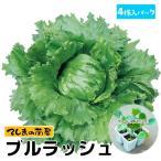てしまの苗 玉レタス苗 エムラップ231  4株入りパック 葉菜苗 人気