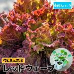 【生産農場直送】リーフレタス苗 なんそうべに 4株入りパック 葉菜苗 【人気】