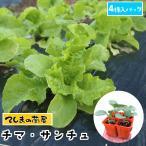 チマサンチュ 4株入りパック かき、ちしゃ苗 野菜苗 ガーデニング 家庭菜園 10P12Oct15