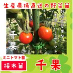 てしまの苗  ミニトマト苗 千果 断根接木苗 9cmポット人気野菜苗