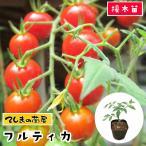 てしまの苗  トマト苗 フルティカ 断根接木苗 9cmポット人気野菜苗