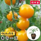てしまの苗  トマト苗 キラーズ 断根接木苗 9cmポット人気野菜苗