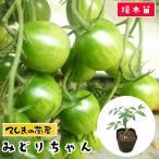 てしまの苗 ミニトマト苗 みどりちゃん 断根接木苗 9cmポット 野菜苗 プチトマト 人気