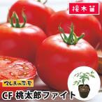 てしまの苗  大玉トマト苗 桃太郎ファイト 断根接木苗 9cmポット人気野菜苗