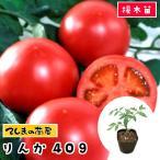 てしまの苗大玉トマト苗 りんか409 断根接木苗 9cmポット 人気