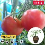 てしまの苗 H30年3月下旬より順次発送  中玉トマト苗 サンロード 断根接木苗 9cmポット人気野菜苗