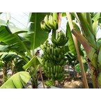 予約受付中!12月15日から順次発送。国産バナナ 3本 おかやまおひさまファーム 岡山県産 バナナ Mサイズ (120g〜140g) (産地直送)(国産)