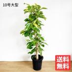 フィカス アルテシーマ  10号  観葉植物 10号鉢 大鉢 大型 大きい 尺鉢
