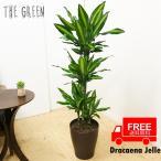 ドラセナ ジュレ 8号 送料無料  観葉植物 8号鉢 中鉢 中型〜大型 大きい