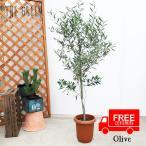 Yahoo!the greenオリーブ 送料無料 オリーブの木 観葉植物 庭木 鉢植え お買い得