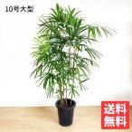 送料無料 シュロチク 棕櫚竹 10号 観葉植物 10号鉢 大鉢 大型 大きい 尺鉢
