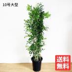 送料無料 シルクジャスミン ゲッキツ 10号 観葉植物 10号鉢 大鉢 大型 大きい 尺鉢