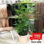 送料無料 シマトネリコ テラコッタ鉢植え 素焼き鉢  トネリコ 観葉植物 株立ち 鉢植え