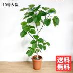 フィカス ウンベラータ ゴムの木  10号  観葉植物 10号鉢 大鉢 大型 大きい 尺鉢