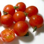 トマト 京都産 オーガニック ミニトマト 約500g(50個前後入り)プチトマト 有機JAS認証 有機栽培