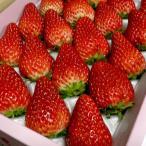 いちご 紅ほっぺ べにほっぺ イチゴ 大玉 約700g 20〜24個入り 化粧箱 愛媛産 苺 ストロベリー ギフト ひな祭り バレンタイン 紅ホッペ