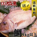 【送料無料】養殖 活〆 タイ (国産)  約1kg以上 刺身 焼き 煮付け