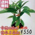 観葉植物 幸福の木 ドラセナ 挿し木 3本セット 勇田薬草園 送料無料