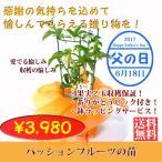 父の日限定特別価格☆ありがとうピック付き&ラッピングサービス☆最低2玉収穫保証パッションフルーツの苗(鉢)