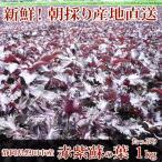 赤紫蘇 1kg(500g×2袋)☆静岡県磐田市産☆朝採り産地直送 赤しそ/赤シソ/赤紫蘇の葉! 5月中旬頃からの発送になります!