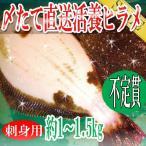 タイムセール ヒラメ ひらめ 鮃 不定貫刺身用 〆たて 直送活養ヒラメ約1-1.5kg 冷蔵便 築地直送