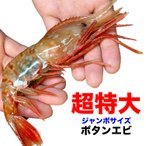 お中元 御中元 ジャンボ特大ボタンエビ約1kg約14〜16尾前後(えび 海老 蝦) 送料無料 冷凍