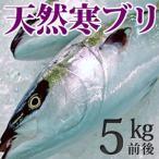 天然ブリ(寒鰤/寒ブリ)5kg前後 送料無料(北海道・沖縄を除く)