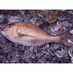 真鯛 - 和歌山県産(養殖)活〆真鯛(1尾約800g)