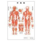 人体チャート 骨格筋 デスクサイズ・スタンド版 43×31cm 医道の日本社
