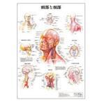 人体チャート 頭部と頚部 デスクサイズ・プラスチック版 43×30.5cm 医道の日本社