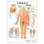 人体チャート 末梢神経系 ポスターサイズ・ラミネート版 70×51cm 医道の日本社