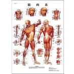 医学チャート 日本語版、B2ポスター「筋肉系」 VR7118B 3B