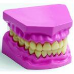 人体解剖模型 口腔内模型 歯 完成品プラモデル 童友社