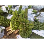 フィリピン産サバ・バナナ(青バナナ)約12.0kg 5/6ハンド入り
