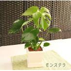 観葉植物 インテリア アクアセラミック モンステラ 角鉢