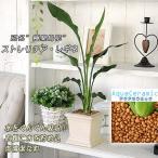 ストレリチア・観葉植物 インテリア アクアセラミック ストレリチア レギネ(角鉢)