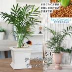 観葉植物 水を吸い込む清潔な粒 アクアセラミック テーブルヤシ チャメンドラ