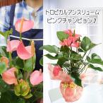 観葉植物 アンスリウム 鉢花 ギフト アンスリューム ピンクチャンピョン