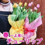 特別販売 ボリュームいっぱい 春のお花 チューリップの鉢植え