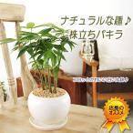 観葉植物 おしゃれ 室内 パキラ 誕生日 プレゼント 女性