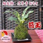 縁起の良い植物 引越しの祝いに開運 おもと 苔玉で飾る 盆栽 万年青(オモト) こけ玉 コケダマ こけだま