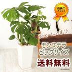 送料無料 ボリューム満点 モンステラ 大サイズ 観葉植物 インテリア ギフト プレゼント
