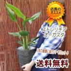 Yahoo!フラワーポケット 塚口ガーデン送料無料  お部屋をバリ風に 鉢カゴとセット ストレリチア・オーガスタ 6号 観葉植物