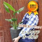 お部屋をバリ風に 鉢カゴとセット ストレリチア・オーガスタ 6号 観葉植物