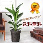 お部屋をバリ風に 鉢カゴとセット 送料無料 ストレリチア・オーガスタ 7号 観葉植物